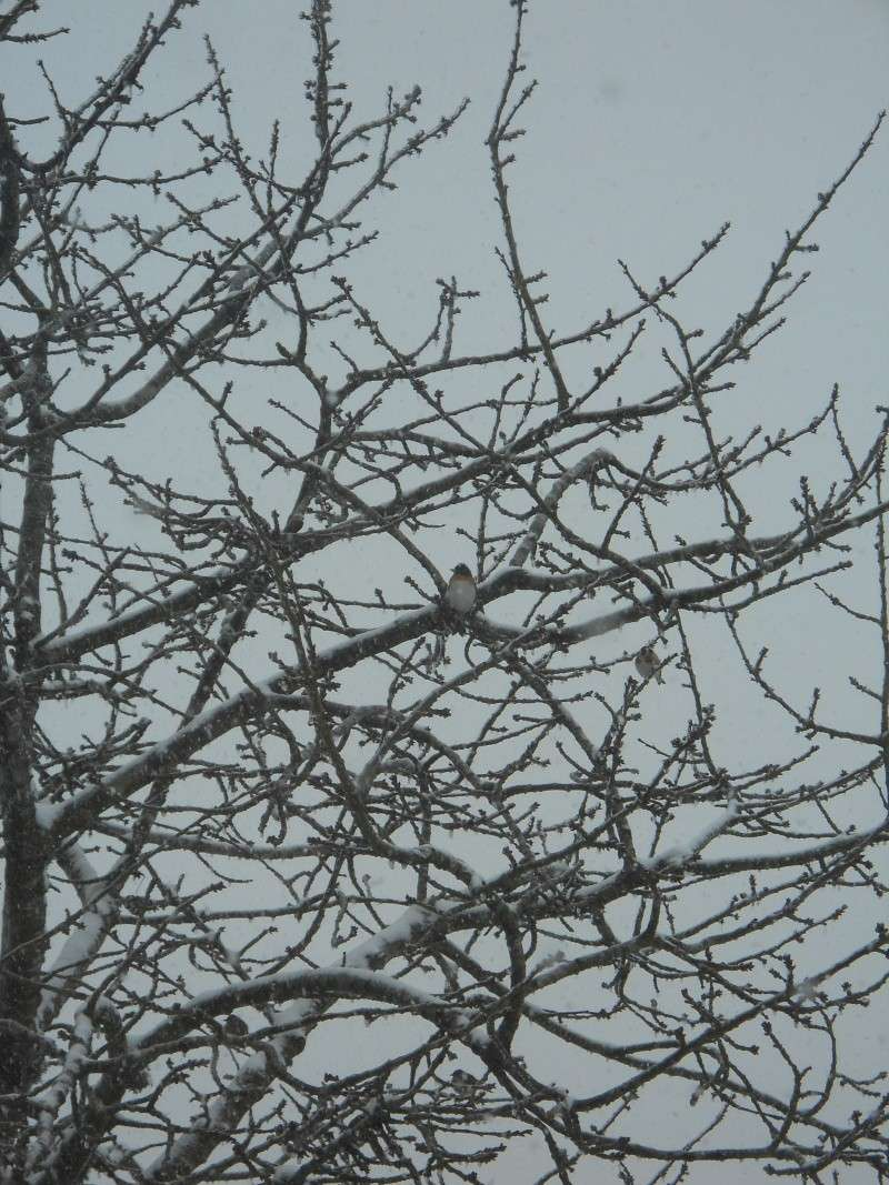 """Qui est cet oiseau ? Pinson du Nord"""" Oiseau15"""