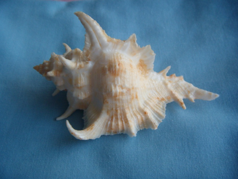Siratus tenuivaricosus - (Dautzenberg, 1927) Dscn1051