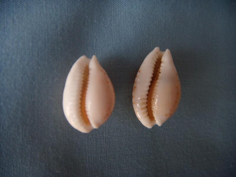 Cribrarula gaskoini - (Reeve, 1846)  Dscn1055