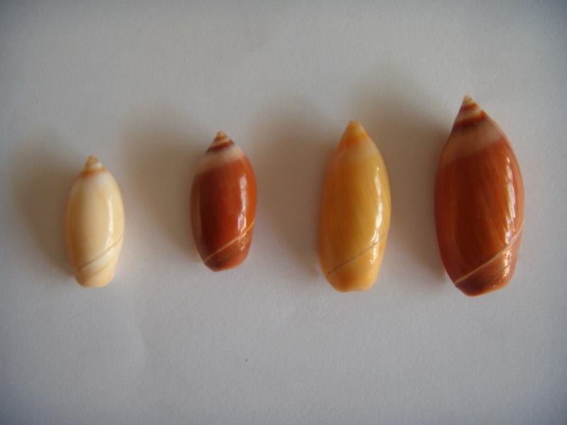 Ancilla cinnamomea - Lamarck, 1801 Dscn1060