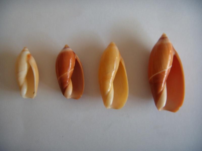 Ancilla cinnamomea - Lamarck, 1801 Dscn1061