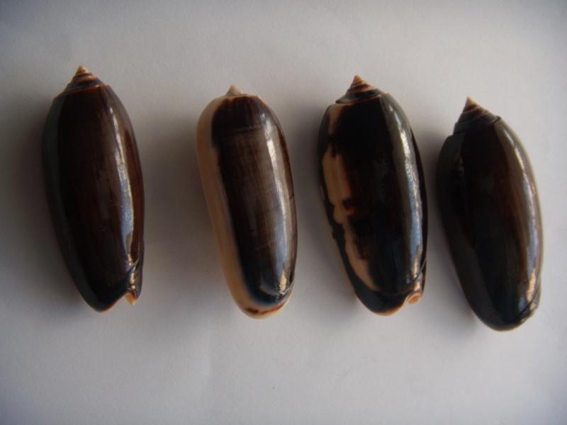 Miniaceoliva miniacea f. marrati (Johnson, 1910) accepted as Oliva miniacea miniacea (Röding, 1798) Dscn1066
