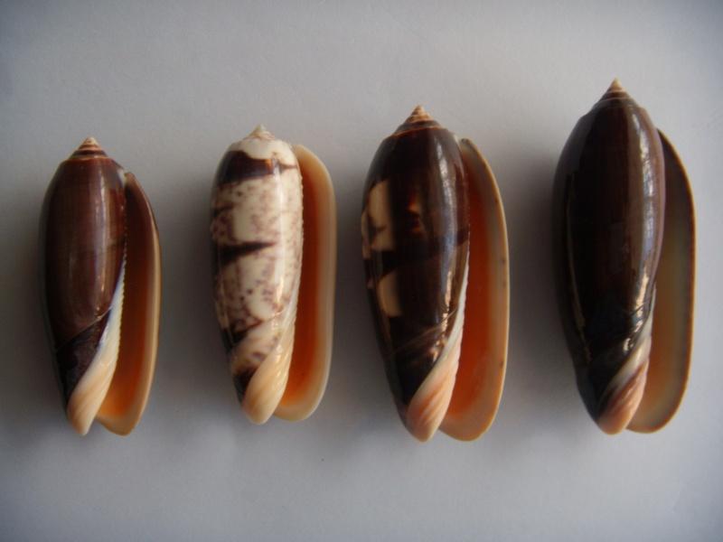 Miniaceoliva miniacea f. marrati (Johnson, 1910) accepted as Oliva miniacea miniacea (Röding, 1798) Dscn1067