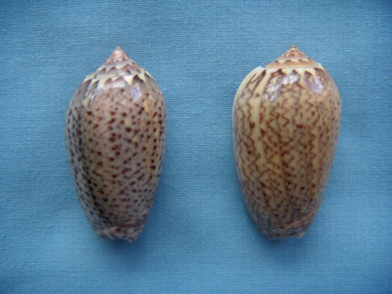 Americoliva polpasta (Duclos, 1833) Dscn1070