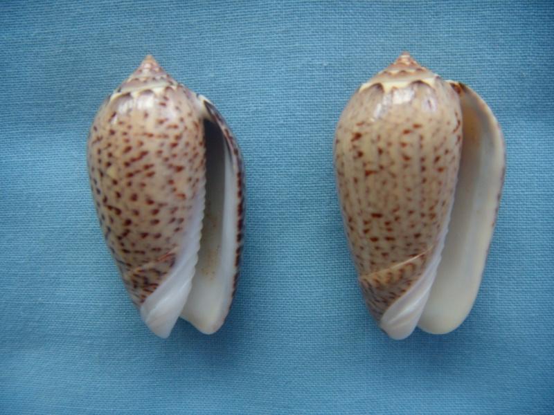 Americoliva polpasta (Duclos, 1833) Dscn1071