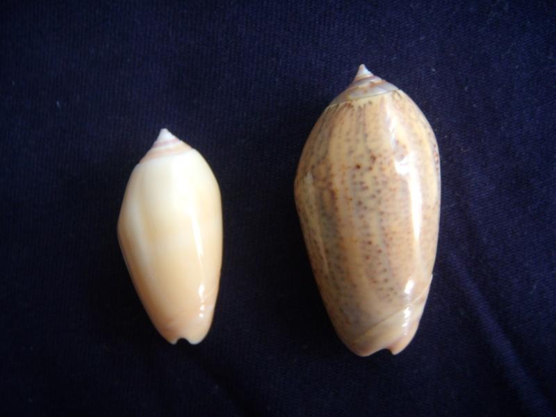 Americoliva incrassata burchorum (Zeigler, 1969) - Worms = Americoliva incrassata (Lightfoot in Solander, 1786) - Page 2 Dscn1072
