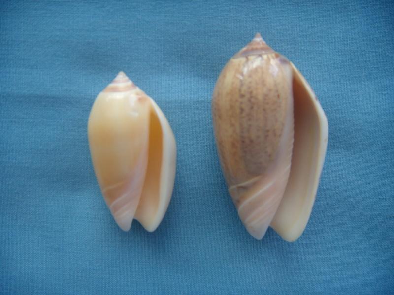 Americoliva incrassata burchorum (Zeigler, 1969) - Worms = Americoliva incrassata (Lightfoot in Solander, 1786) - Page 2 Dscn1073