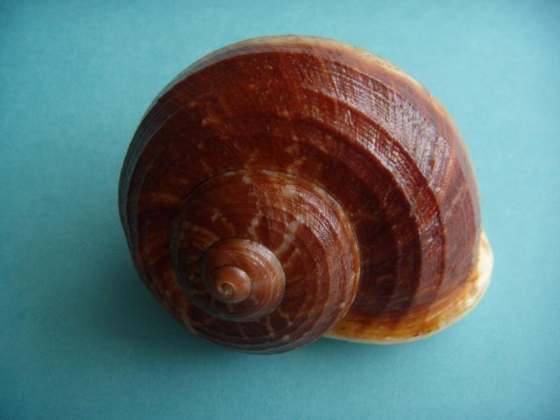 Cyclophorus rafflesi eximius (Mousson, 1848) Dscn1132