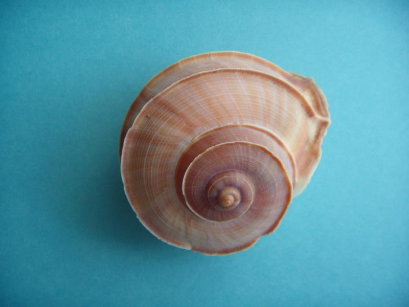 Tropidophora cuvieriana (Petit de la Saussaye, 1841) Dscn1134