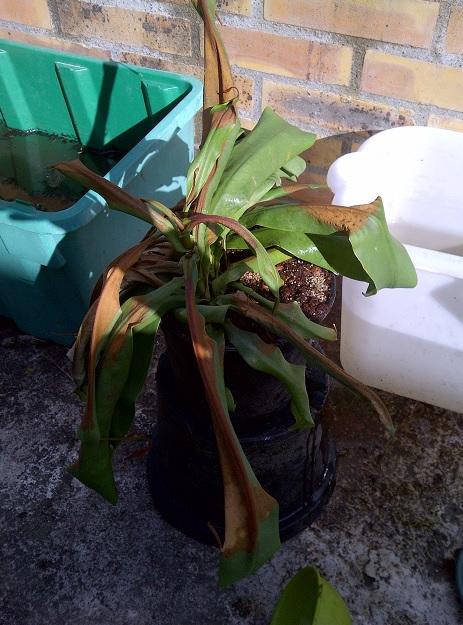 Nepenthes en tres mauvais etat - Grillé Nepent10
