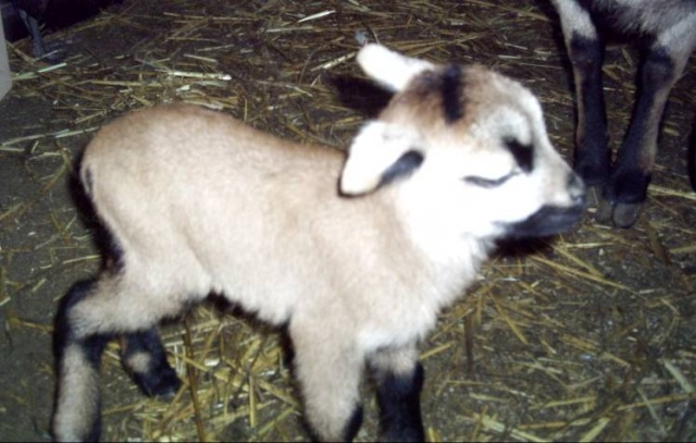 souvenir de les moutons ( pour toi manu ) Mouton10