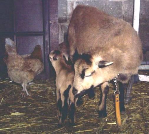 souvenir de les moutons ( pour toi manu ) Mouton11