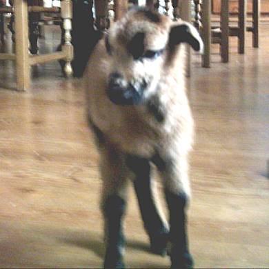 souvenir de les moutons ( pour toi manu ) Mouton12