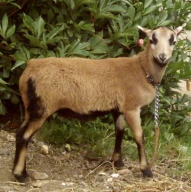 souvenir de les moutons ( pour toi manu ) Nala10
