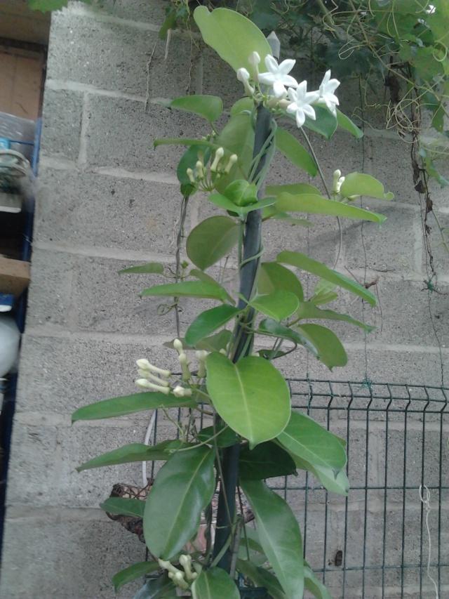 floraison de mon stéphanotis - Page 2 Photo037