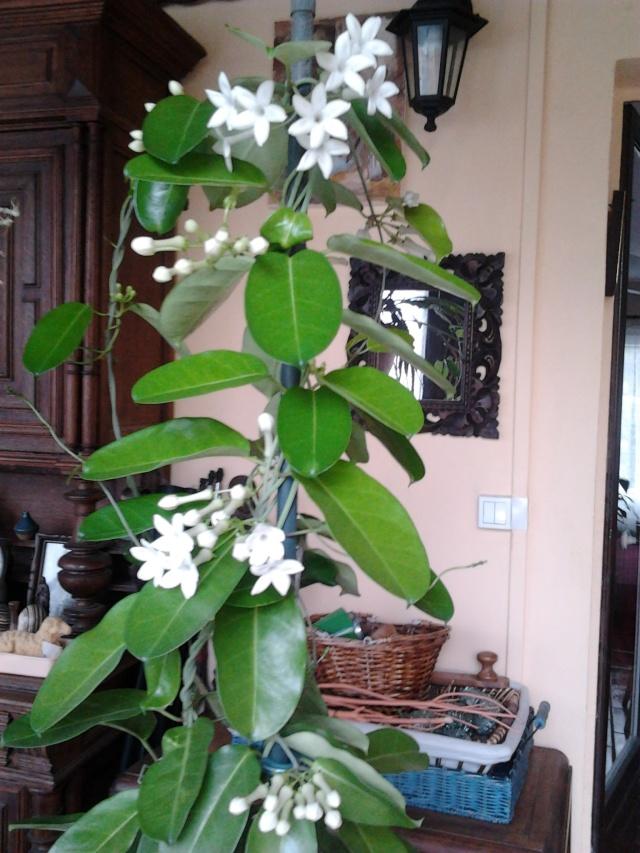 floraison de mon stéphanotis Photo043