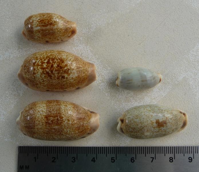 Caurica et/ou cylindrica Cauric10