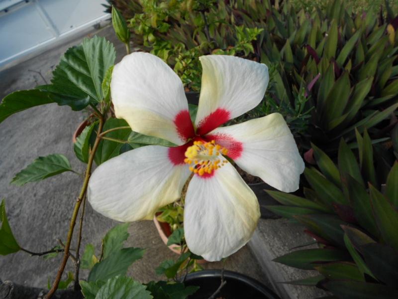 hibiscus  Dscn1213