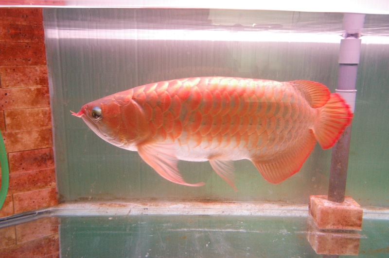 mes moments nostalgie avec les altum orinoco et arowana Photo14
