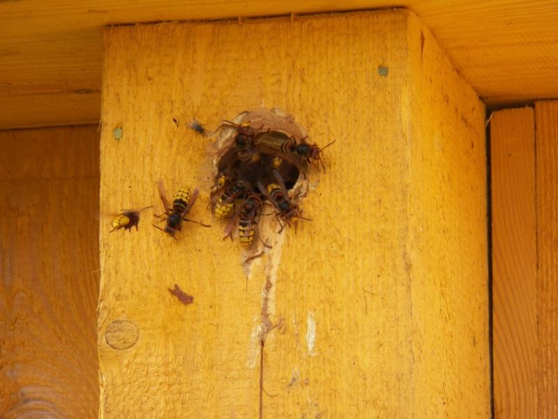 Nid de Vespa crabro dans un nichoir...a oiseaux 100_6310