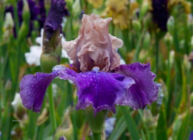 votre plus bel iris Poem_o10