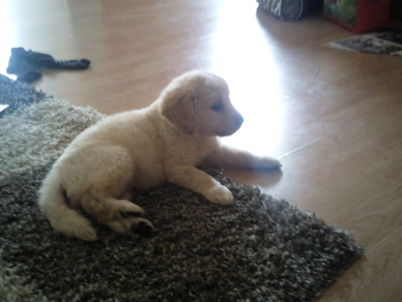 Chiot golden trop maigre - Page 2 Photo122