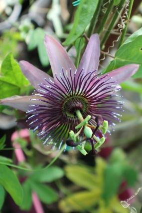 Passiflora x violacea 'Victoria' Img_4710