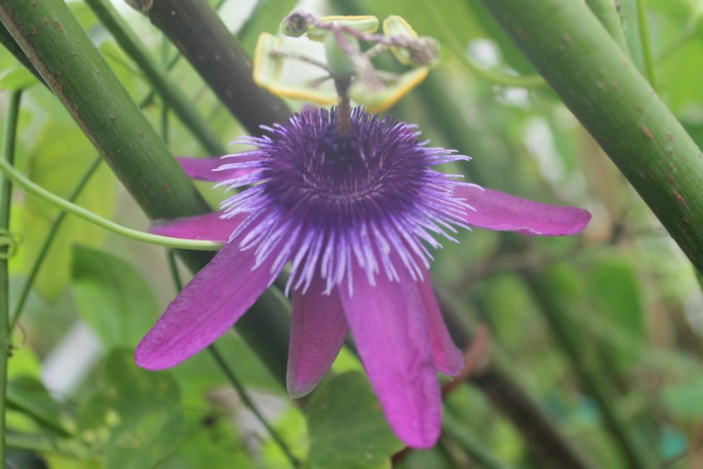 Passiflora amethystina Img_5618