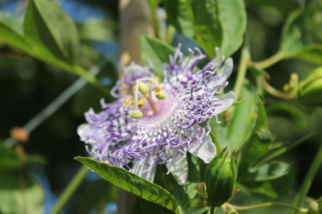Passiflora 'Guglielmo Betto' Img_5813