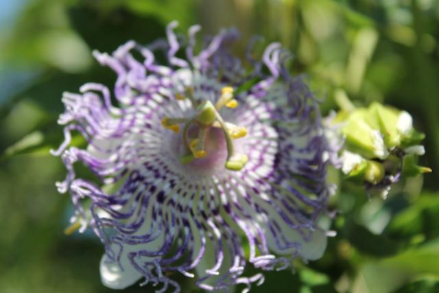 Passiflora 'Guglielmo Betto' Img_5814