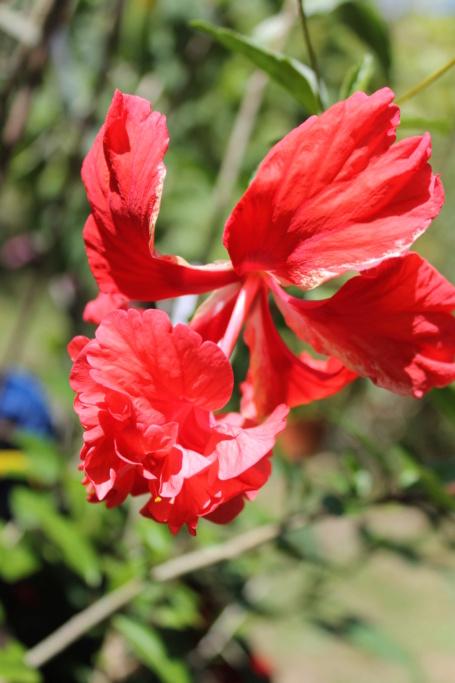 Hibiscus 'El Capitolio' et Hibiscus sinensis Img_5816