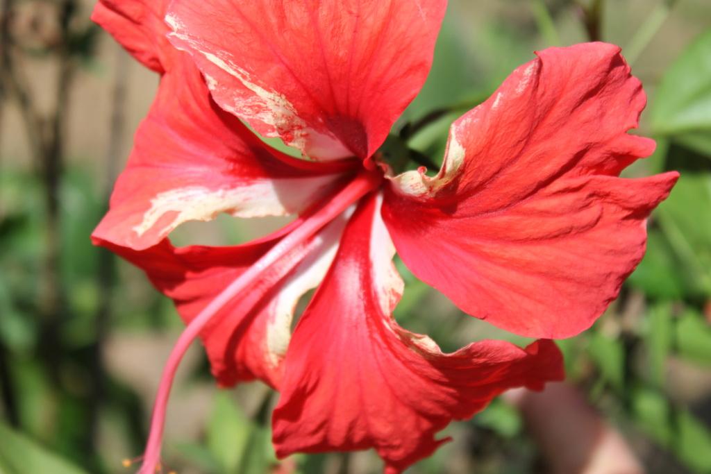 Hibiscus 'El Capitolio' et Hibiscus sinensis Img_5921
