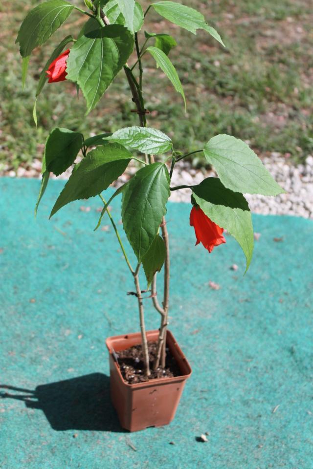 Malvaviscus penduliflorus - hibiscus piment Img_6017