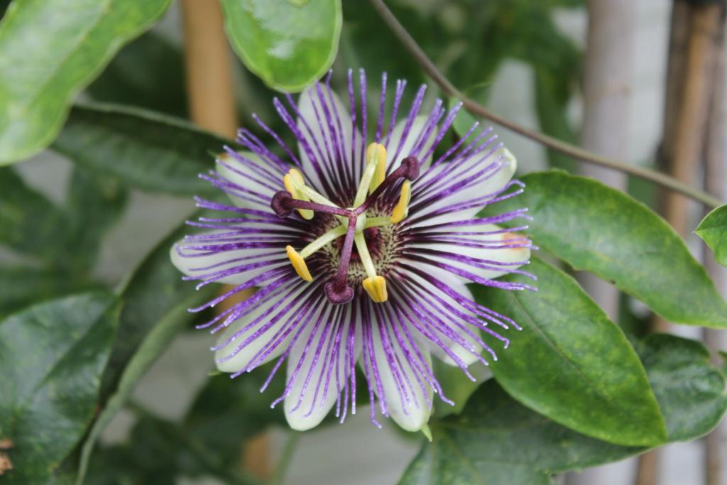 Passiflore 'Violetta' Img_6024