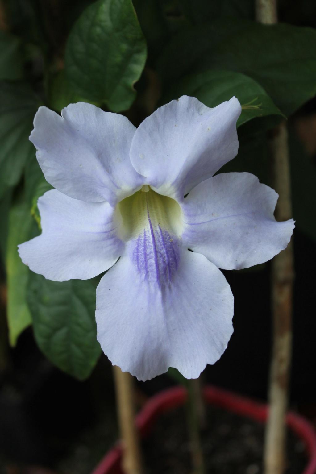 Thunbergia grandiflora Img_6111