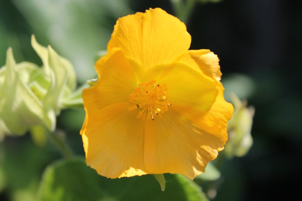 Abutilon grandifolium - Page 2 Img_6117