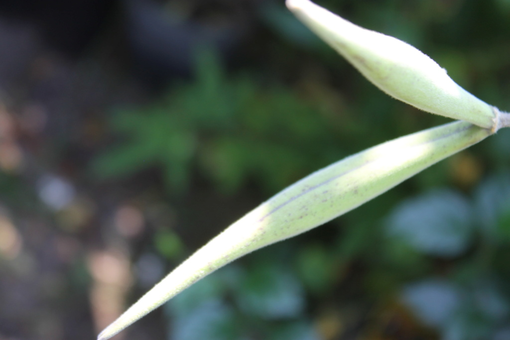 Oxypetalum coeruleum (= Tweedia caerulea) Img_6122