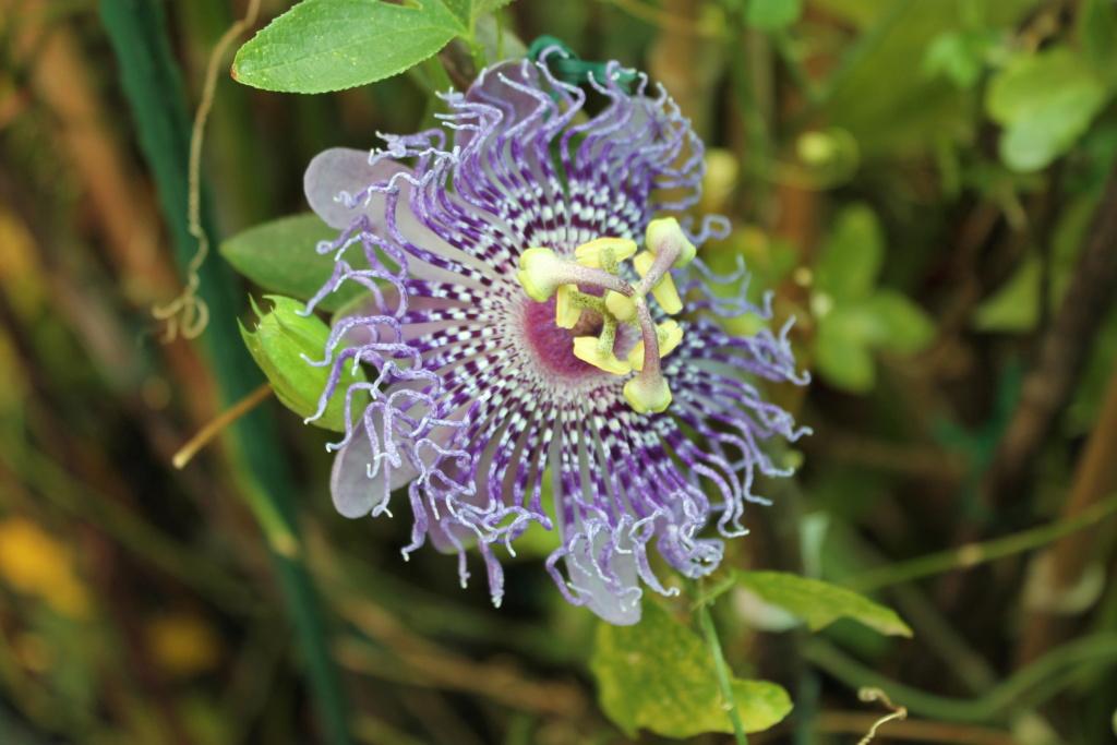 Passiflora edulis var. kerii (= Passiflora incarnata) - Page 2 Img_6149