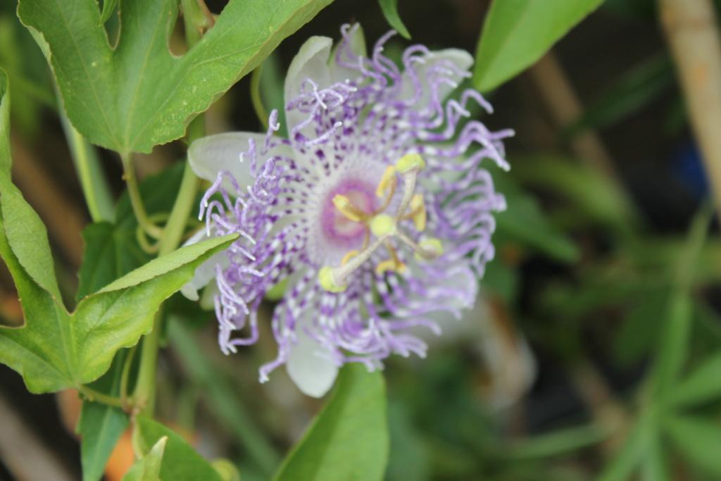 Passiflora 'Guglielmo Betto' Img_6215
