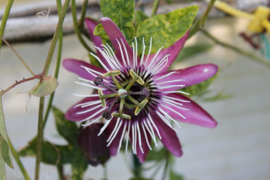 Passiflora x violacea 'Victoria' Img_6216