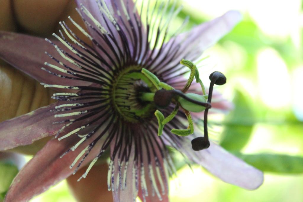 Passiflora x violacea 'Victoria' Img_6217