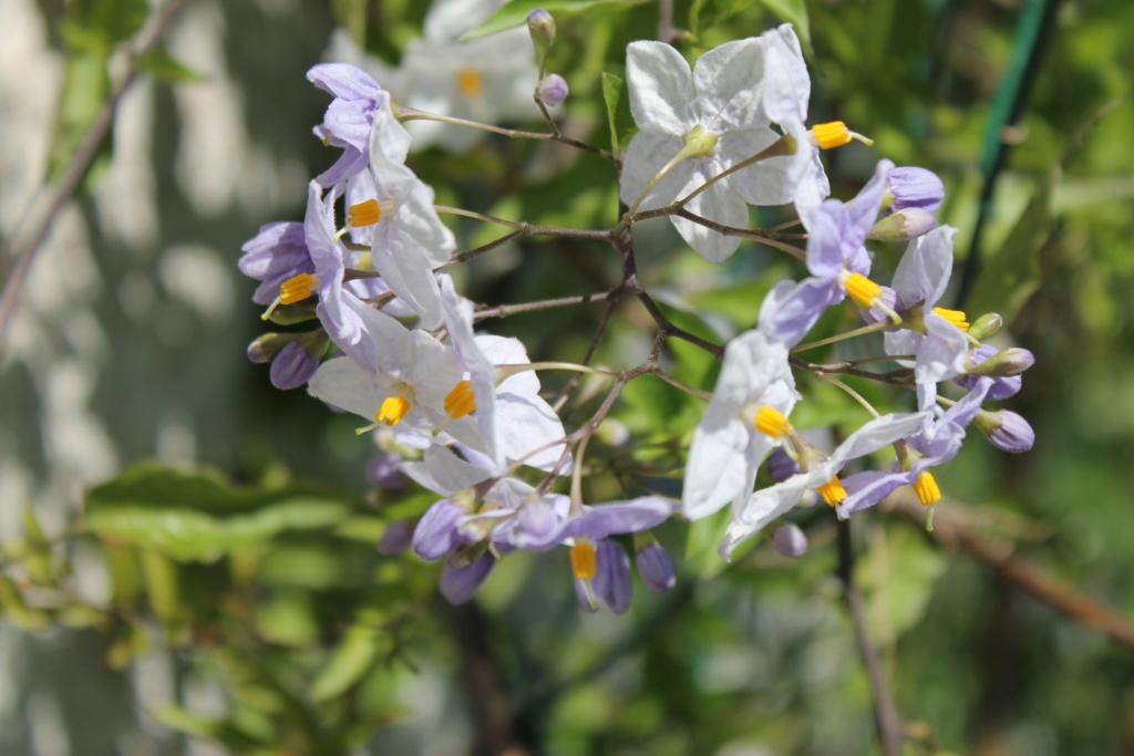 Solanum jasminoides - faux-jasmin - Page 4 Img_6224