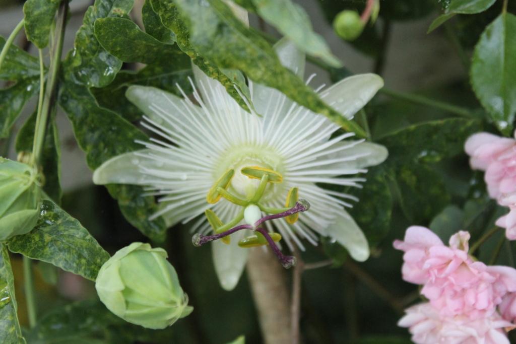 Passiflora caerulea - Page 5 Img_6232