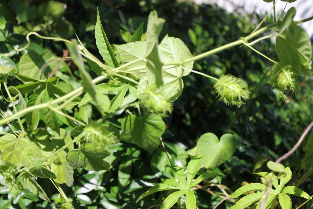 Passiflora ciliata P_foet14