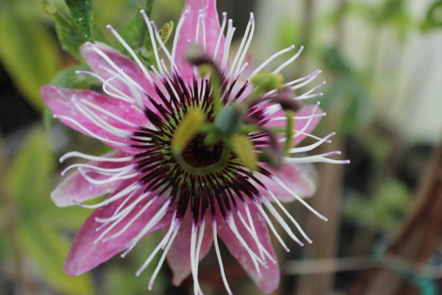 Passiflora x violacea 'Victoria' P_vict10