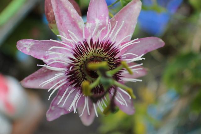 Passiflora x violacea 'Victoria' P_viol10
