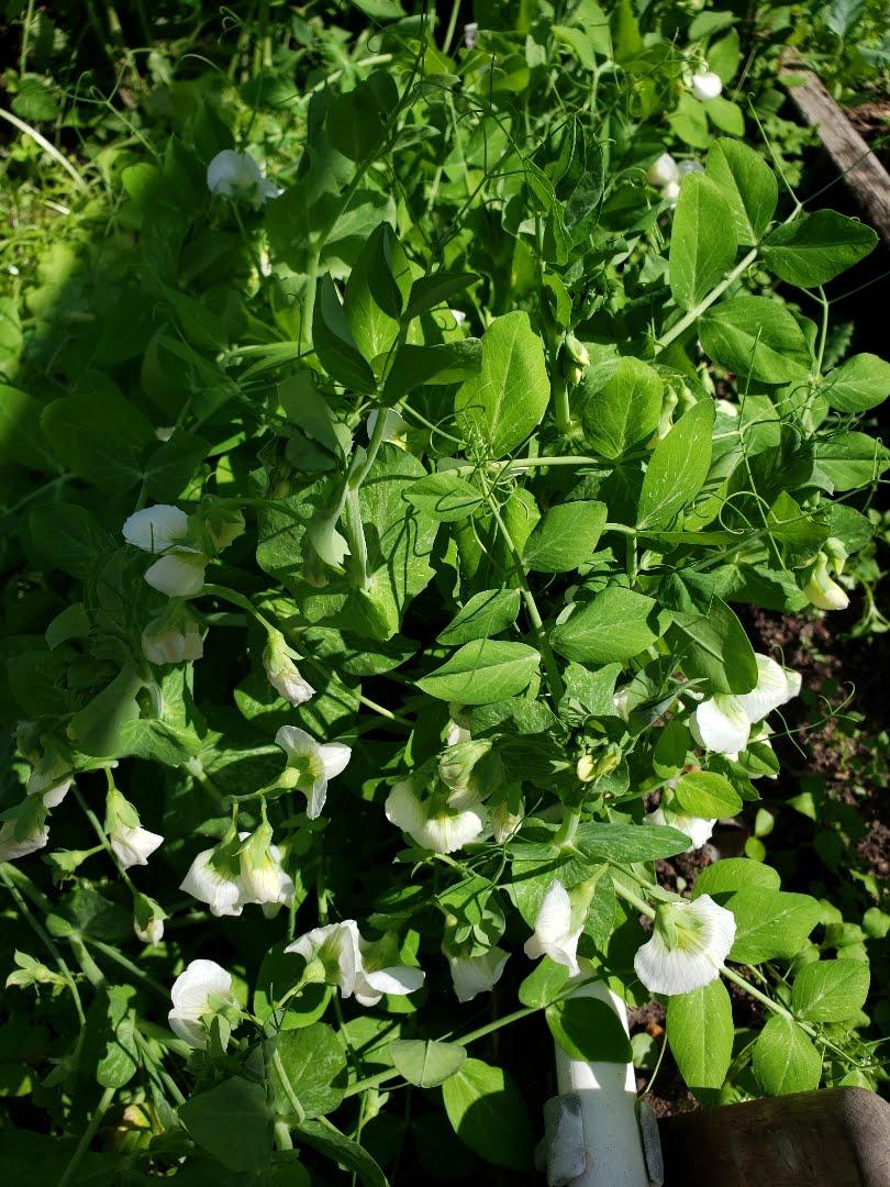 Vườn Rau Tháng 4 Image-10