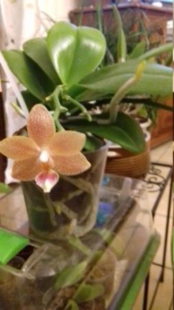 Phalaenopsis Masterpiece 20181011