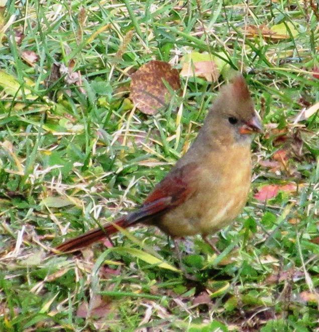 Bel oiseau à identifier, merci Jaseur12