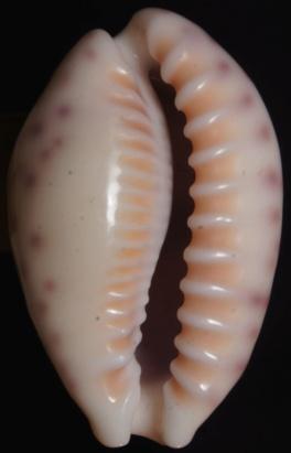 Ovatipsa_chinensis_variolaria_(Lamarck_1810) Dsc00225